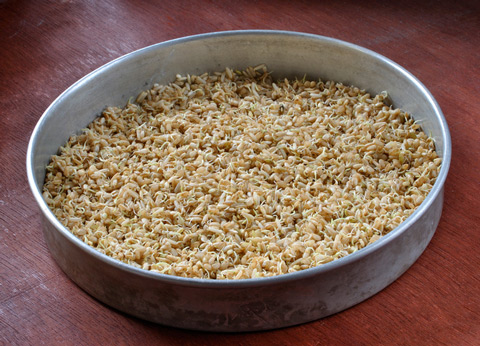 Sprouted rice is healthier than regular brown rice.